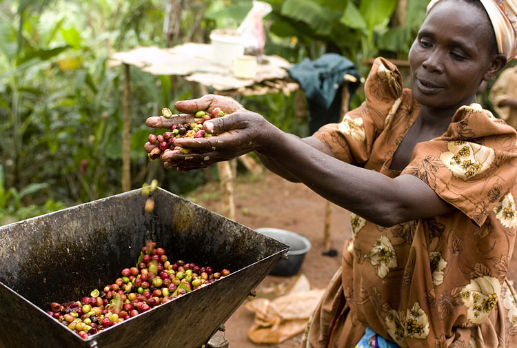 fair-trade-uganda-kaffee-ernte-gross